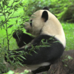 Giant panda treated like national treasure when it comes to health care
